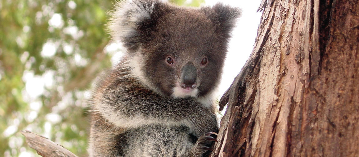 The iconic Australian koala