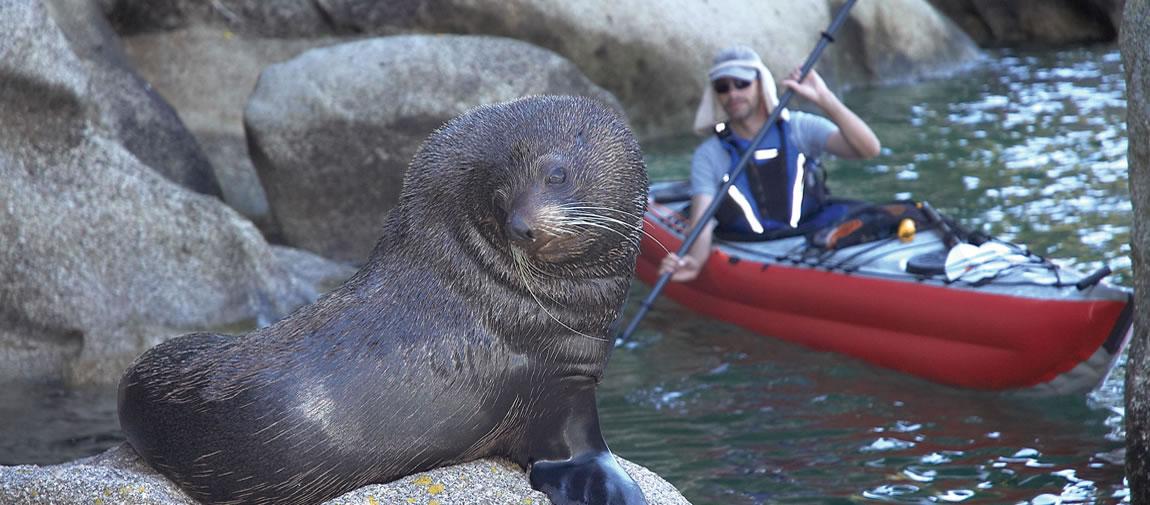 Fur seal and kayaker