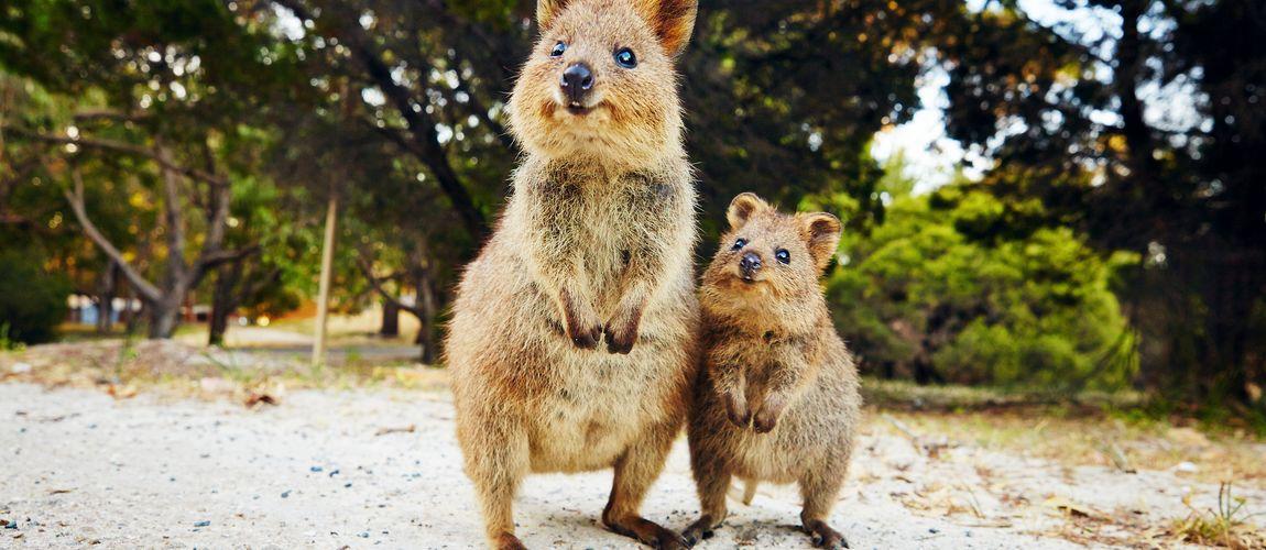 Quokkas in Australia