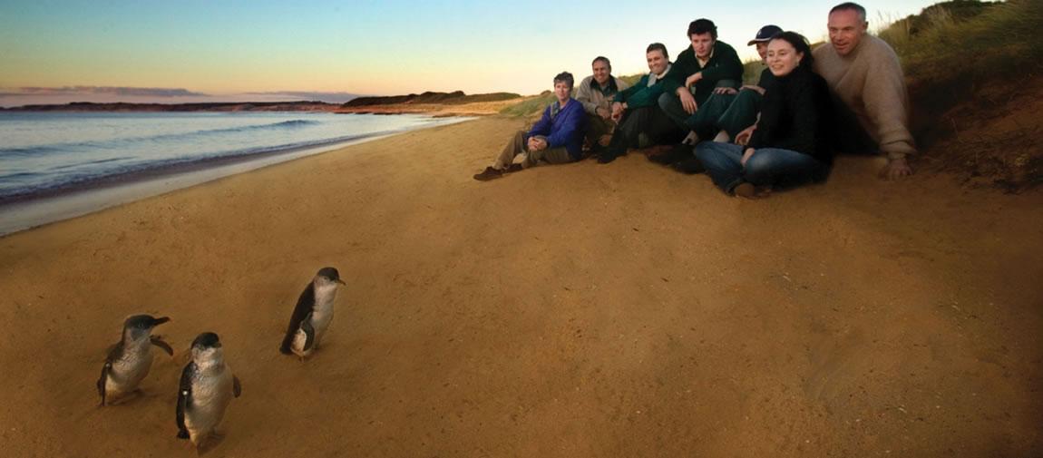 Penguin Parade viewing
