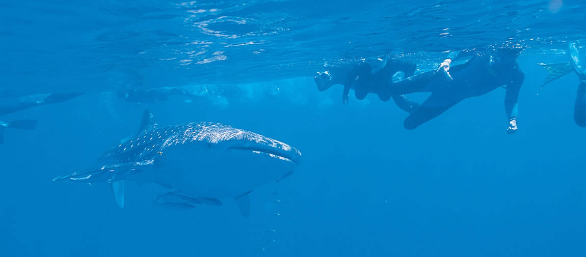 Divers with a whale shark