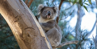 a koala bear sitting on a branch