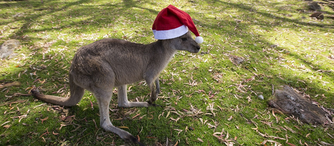 Kangaroo wearing a Christmas hat
