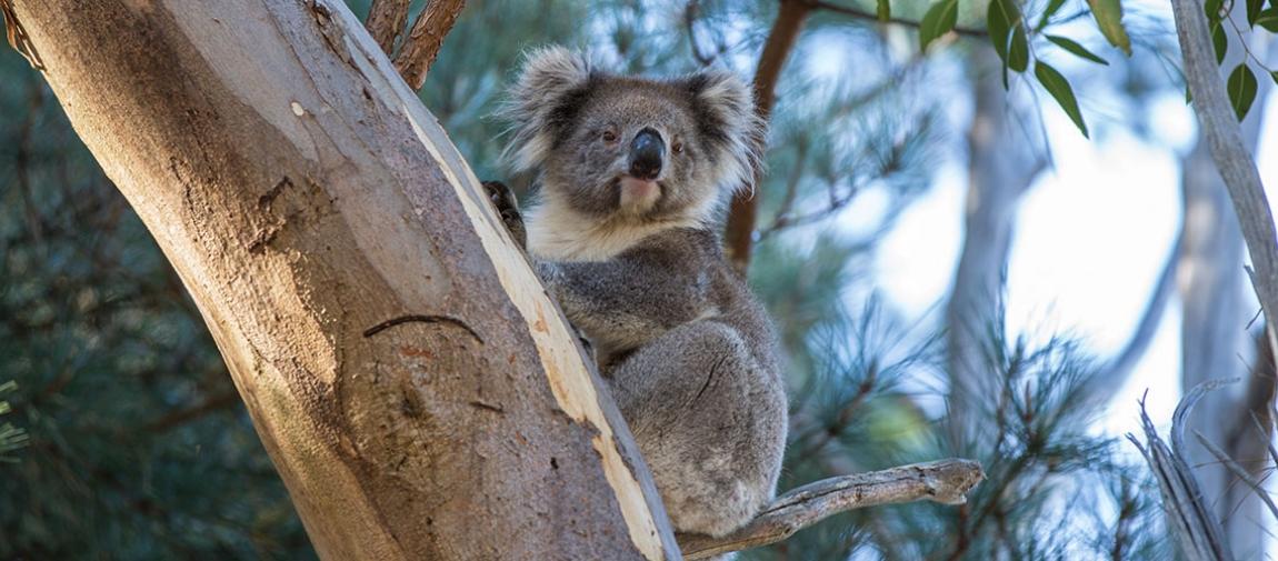 a koala bear sitting on a branch