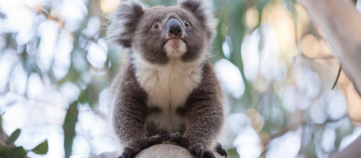 a close up of a koala