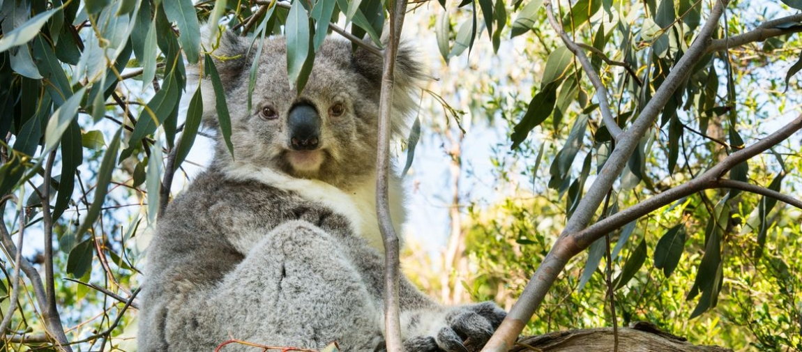 a koala eating leaves from a tree